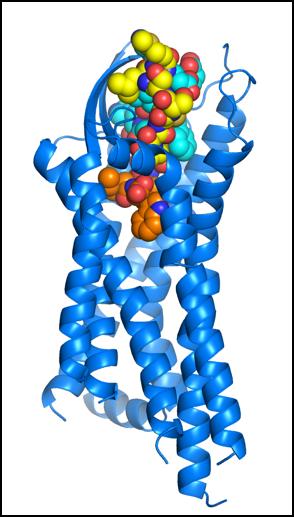 血管収縮因子エンドセリンの受容体初期活性化機構を解明(プレスリリース)         —         SPring-8 Web Site
