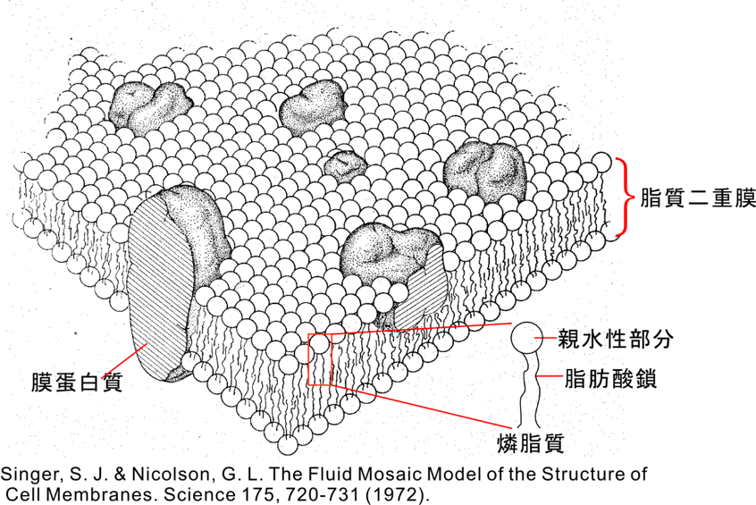 初めて解像された膜蛋白質と燐脂質の相互作用のダイナミクス ...