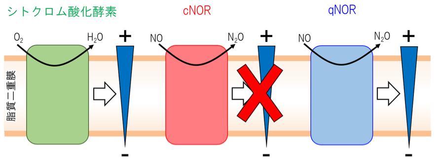 菌 膜 リリース 界面活性剤と芳香族アルコールによる抗菌作用メカニズムを原子・分子...