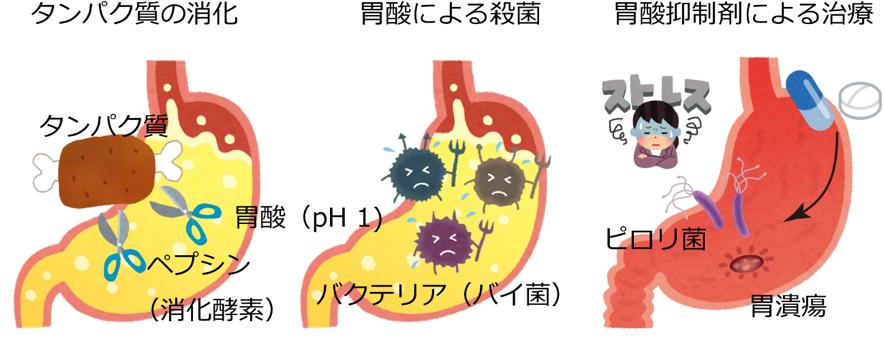 胃酸分泌を担う胃プロトンポンプ...